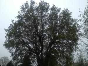 Tree Crown